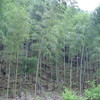 high germination mao zhu zhong zi bamboo seeds