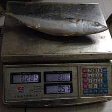 250-300G Frozen Pacific Mackerel For Consumption