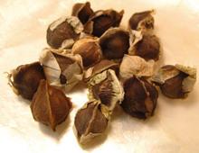 muringa seeds