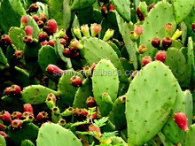 Natural weight loss Hoodia Extract/Hoodia Extract Powder/Hoodia Cactus Extract 4:1~20:1 HPLC 98%