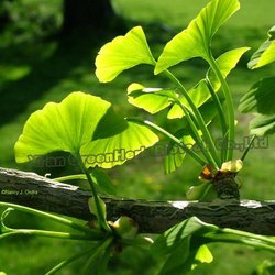 Pure Natural Ginkgo Flavone Glycosides Terpene Lactones