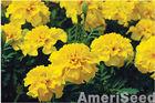 AmeriSeed French Marigolds Giant Lucifer