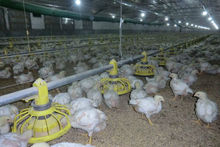 Huabo chicken and broiler plastic feed pan