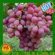 fresh red grapes plantation from China