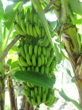ECUADOR ORIGIN BANANA FROM TURKEY BY ALDERA QUALITY AND GUARANTEE