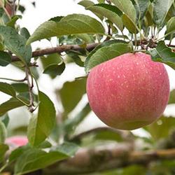 better imaginable factory directly fresh fuji apple