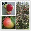 New high quality china fresh top red gala apple fruit price juicy sweet