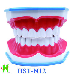 Teeth Brushing Model with tongue,lively dental model