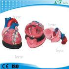Xc-307 coração humano modelo de venda