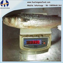 land frozen grey mullet whole round with size 1500-2000g