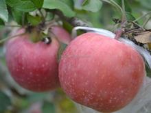 New crop Fuji apple fruit with best apple price