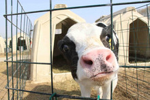 The calf which have influence on the growth and development of pre-mixed cattle