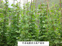 2014 Newest Vegetable Seeds French Bea Red Bea Kidney Bean Pea Bean Seeds For Growing