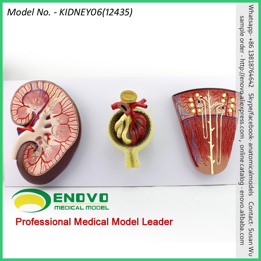 Vender 12435 de la ciencia médica modelo riñón sección Nephron y ...