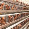 Galvanized steel wire chicken layer cage for 128 birds