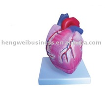 Internal Organs Heart Model