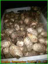 Fresh taro exports Europe and the United States/Big fresh Taro
