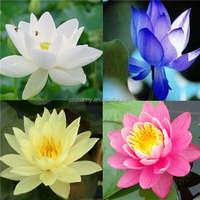 10pcs Seeds 4 Color Mix Bowl Lotus Flower Seed water Aquatic Plants Nelumbo Seed