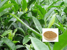 Less energy consumption useful green tea extract softgel capsule