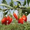 Wolfberry P.E Goji Polysaccharides Wolfberry Extract Powder