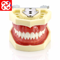 dental study model for tooth preparation /phantom typodont with32 teeth