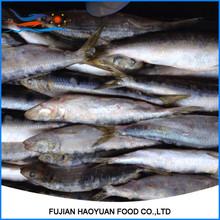 mega sardines caught by lighting sardine from Sardine Factory