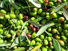 98% 10% 20% 40% natural Olive Extract Powder(Oleuropein & Hydroxytyrosol)