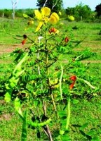 Cassia alata Seeds ,Candle Tree / Bush, Empress Candle Plant Seeds Hindi - Dad Madan - See more at: http://chhajedgarden.com/Tre