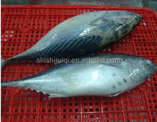 Whole Part and Frozen Style frozen bonito fish whole round , China