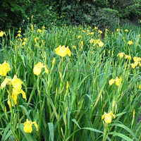Huang cang pu zhong zi yellow flowers for Yellow Iris seed with best quality seed for planting