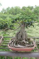 Advanced farming techniques,Beautiful aerial roots banyan bonsai sale