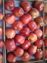 Red Delicious Huaniu Apple Shaanxi Crop