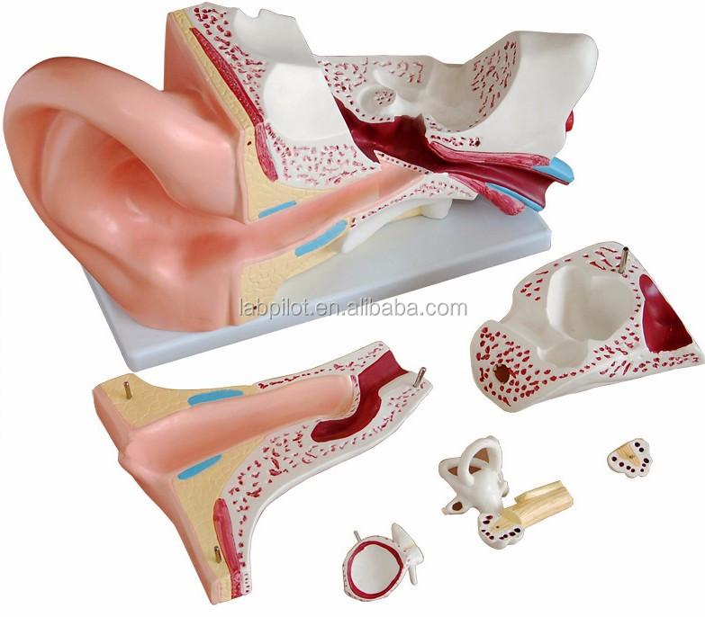6 partes gigante oído, modelo anatómico del oído humano modelo de ...