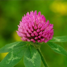 Hot sale pure natural plant extracts red clover extract powder / Trifolium pretense L.