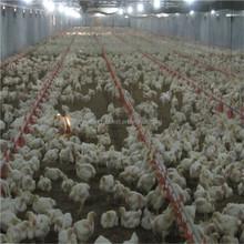 piccolo nomi allevamento di polli per le apparecchiature per il pollame