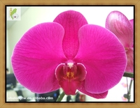 "Big Red Phalaenopsis in 3.5"" or 12 cm Plant Pot Taiwan Orchid Nursery Butterfly Orchid Phalaenopsis"