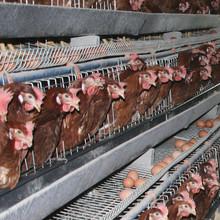 Profissional automático bateria do frango gaiolas de galinhas poedeiras