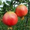 100% purity pomegranate extract powder dried pomegranate powder