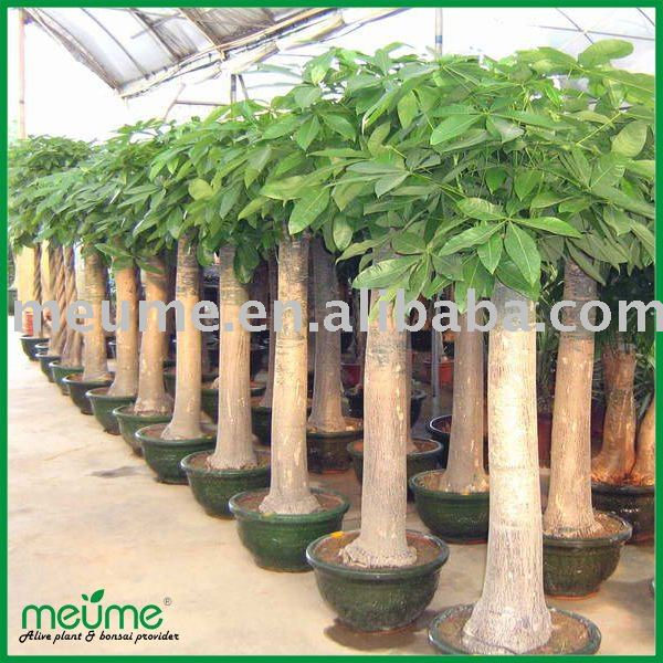 Decorative indoor plants pachira tree money tree buy for Dekorative zimmerpflanzen