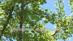 Natural ginkgo flavone glycosides terpene lactones