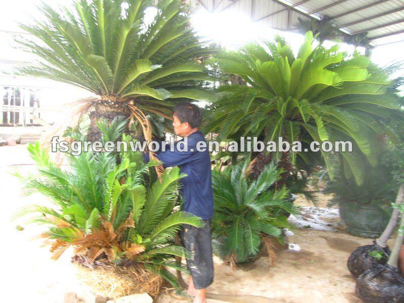 Cycas Revoluta Price Cycas Revoluta 1.5m Trunk