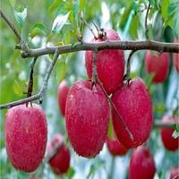 apple paste apple puree
