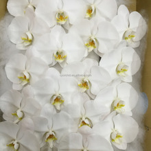 2015 Newest Classic white Cut stem Daily Phalaenopsis orchid in Taiwan