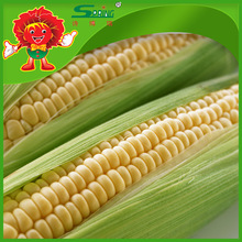Yellow corn maize for human consumption and animal feed