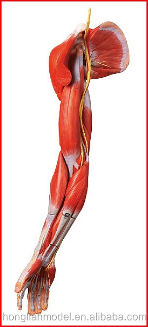 Gd/a11305 Human Muscles Of Arm With Main Vessels And Nerves ...