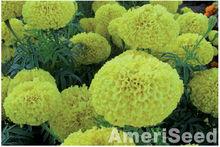 AmeriSeed American Marigolds Narai