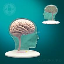 Brain model 3d,light 3d model,medical brain model