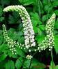 Women Health Care Product From Chinese Herbal Extract Black Cohosh Extract