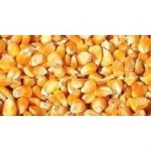 Non GMO Yellow Corn