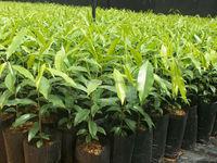 AGARWOOD (Aquilaria Crassna Plants)
